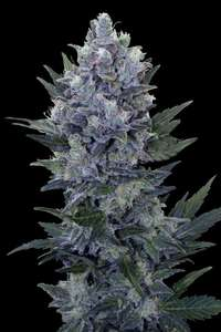Royal Queen SeedsNorthern Light Auto Feminised Seeds