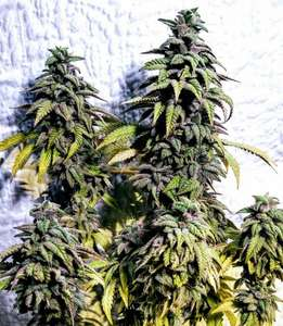 Holy Smoke SeedsOG Upsetter Regular Seeds - 12