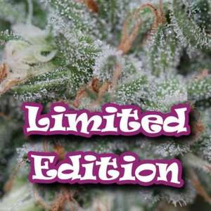 Dr UndergroundOriginal Ganster Feminised Seeds - 5