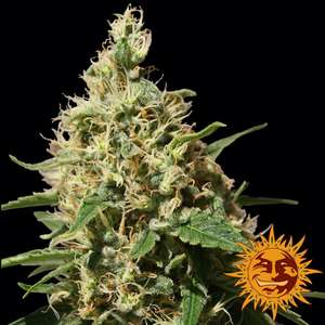 Barney's Farm SeedsPeppermint Kush Feminised Seeds