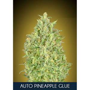 Advanced SeedsPineapple Glue Auto Feminised Seeds