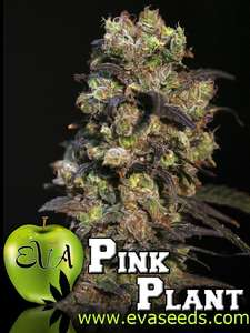Eva SeedsPink Plant Feminised Seeds