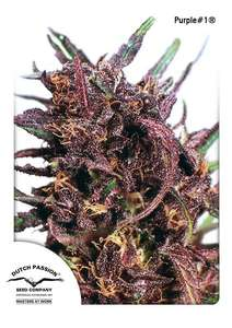 Dutch PassionPurple #1 Regular Seeds - 10