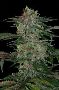 Subcool Seeds/TGA GeneticsQush Regular Seeds