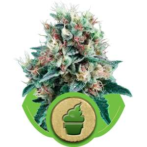 Royal Queen SeedsRoyal Creamatic Auto Feminised Seeds