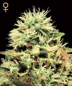 Greenhouse Seed Co.Super Bud Feminised Seeds