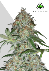 Auto SeedsSucker Punch Auto Feminised Seeds