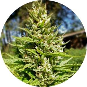 Top Tao SeedsTop Tao Mix 2 Regular Seeds - 15
