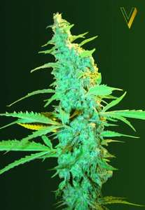 Victory SeedsUltra Power Plant Feminised Seeds