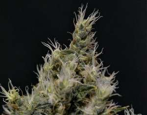 CBD SeedsVanilla Haze Feminised Seeds
