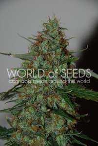 World of SeedsWild Thailand Ryder Auto Feminised Seeds