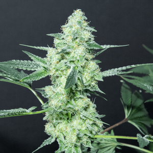 Lemon Sherbet Regular Cannabis Seeds by Elev8 Seeds