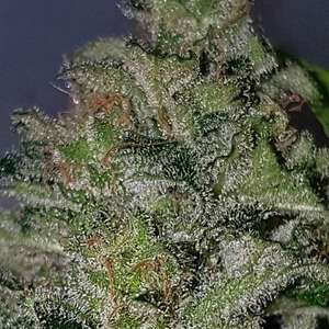 Chemdog Millionaire Guava feminised cannabis seeds by Garden of Green