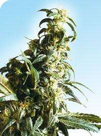 Sensi SeedsMexican Sativa Regular Seeds
