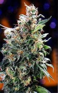 Dutch Passion Californian Orange Feminised cannabis seeds