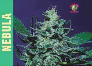 Paradise Seeds Nebula Feminised cannabis seeds