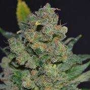 710 Genetics710 Cheese Auto Feminised Seeds