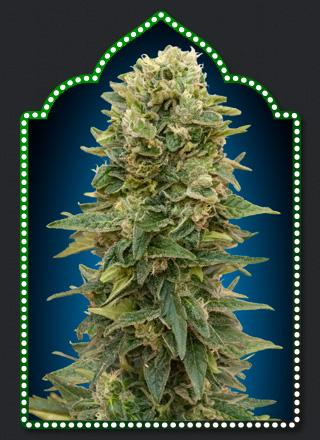 00 Seeds Afghan Mass Auto Feminised cannabis seeds