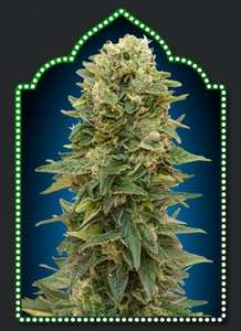 00 SeedsAfghan Mass Auto Feminised Seeds - 5