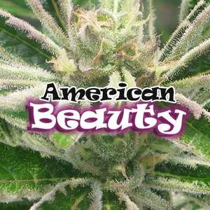 Dr UndergroundAmerican Beauty Feminised Seeds