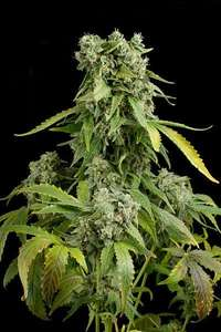 Dinafem Seeds Blue Cheese Auto Feminised cannabis seeds