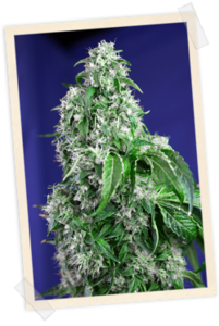 Sweet Seeds Big Devil FAST Version Feminised cannabis seeds