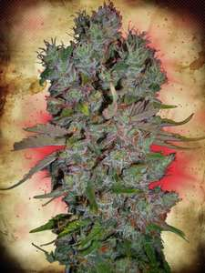 Ministry of Cannabis Blueberry Domina Auto Feminised cannabis seeds