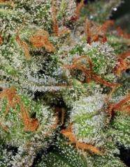 T.H. Seeds Bubble Gum Auto Feminised cannabis seeds