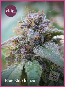 Elite Seeds Blue Elite Indica Feminised cannabis seeds