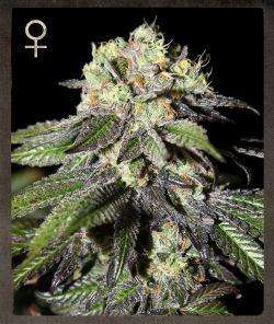 Strain Hunters MerchandiseCaboose Feminised Seeds