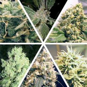 Ceres Seeds Ceres Mix Feminised cannabis seeds