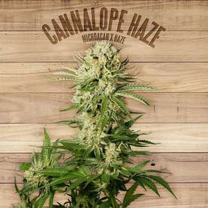 The PlantCannalope Haze Feminised Seeds