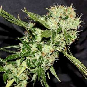 Connoisseur GeneticsCheese 'n' Chaze Regular Seeds - 11