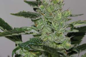 V Elementum SeedsCandy Fruit Feminised Seeds