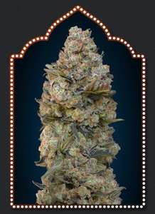 00 SeedsChocolate Skunk Feminised Seeds - 5