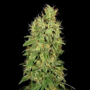 Serious Seeds Chronic CBD Feminised cannabis seeds