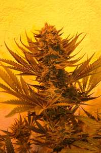 Emerald TriangleCritical 707 CBD Feminised Seeds