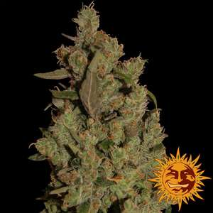 Barney's Farm Seeds Critical Cure CBD Feminised cannabis seeds