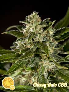 Philosopher Seeds Cheesy CBD Auto Feminised cannabis seeds