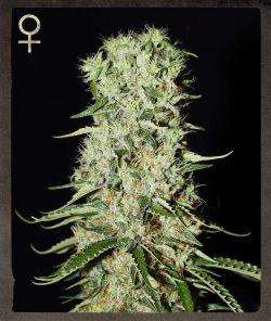 Strain Hunters MerchandiseDamnesia Feminised Seeds