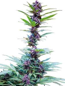 CannabiogenDeluxe Mix Feminised Seeds