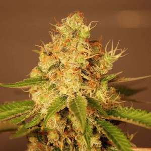 G13 Labs Diesel Auto Feminised cannabis seeds
