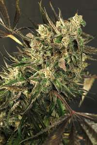 Exotic Seeds Exotic Colours Feminised cannabis seeds
