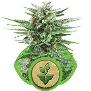 Royal Queen SeedsEasy Bud Auto Feminised Seeds