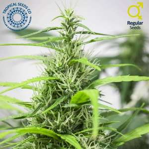 Tropical Seeds Full Energy Regular cannabis seeds
