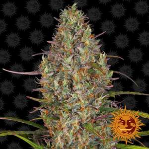 Barney's Farm Seeds Glue Gelato Auto Feminised cannabis seeds