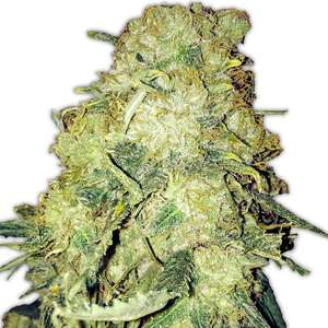 Heavyweight Seeds Goldmine Feminised cannabis seeds