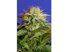 Sweet Seeds Green Poison FAST Version Feminised cannabis seeds