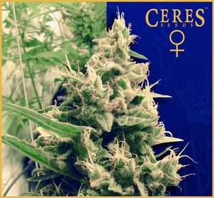 Ceres Seeds Hollands Hope Feminised cannabis seeds