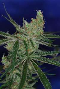 Subcool Seeds/TGA Genetics Jacks Cleaner 2 Regular cannabis seeds
